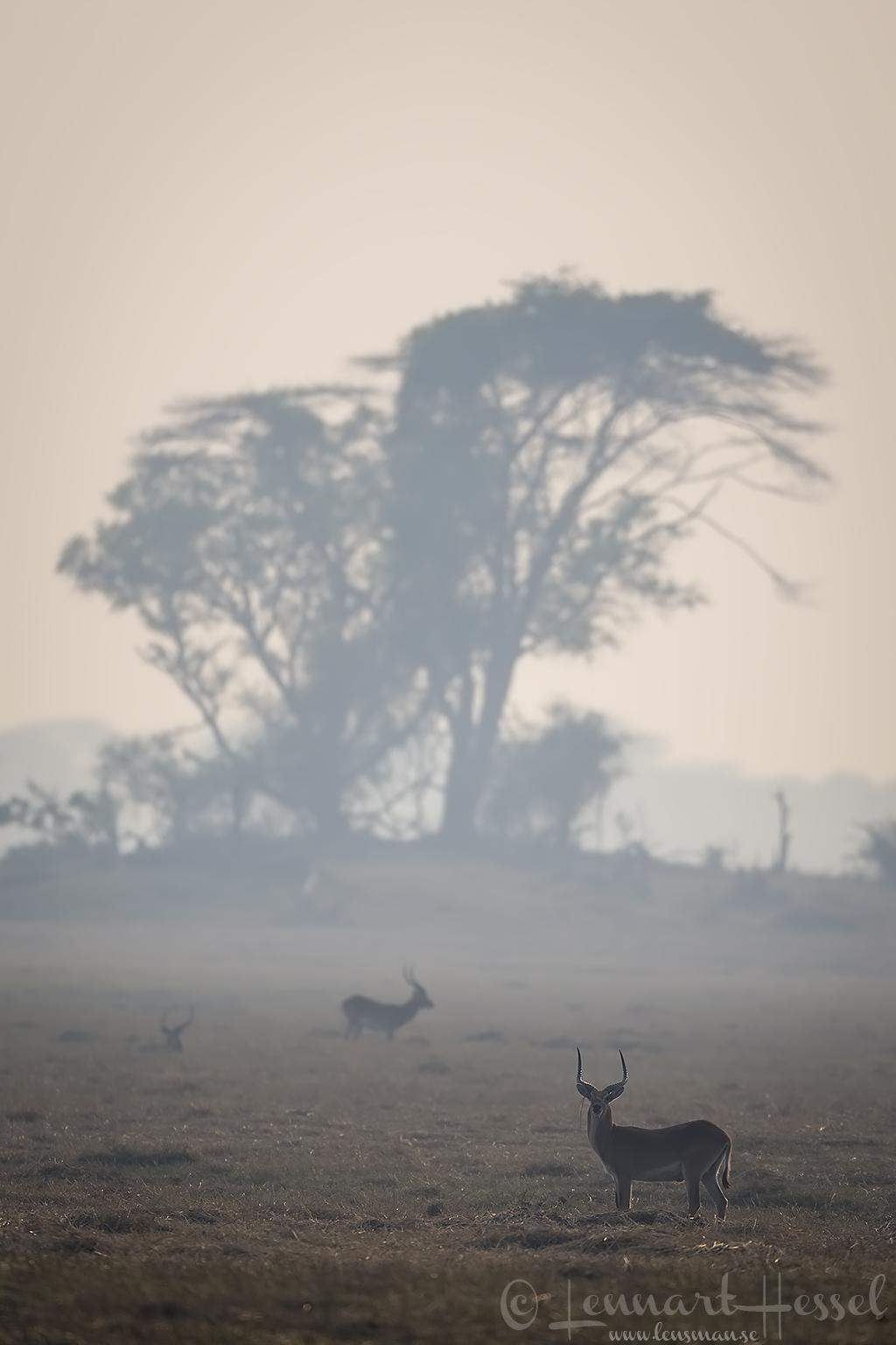 Red Lechwes at sunrise Kafue National Park