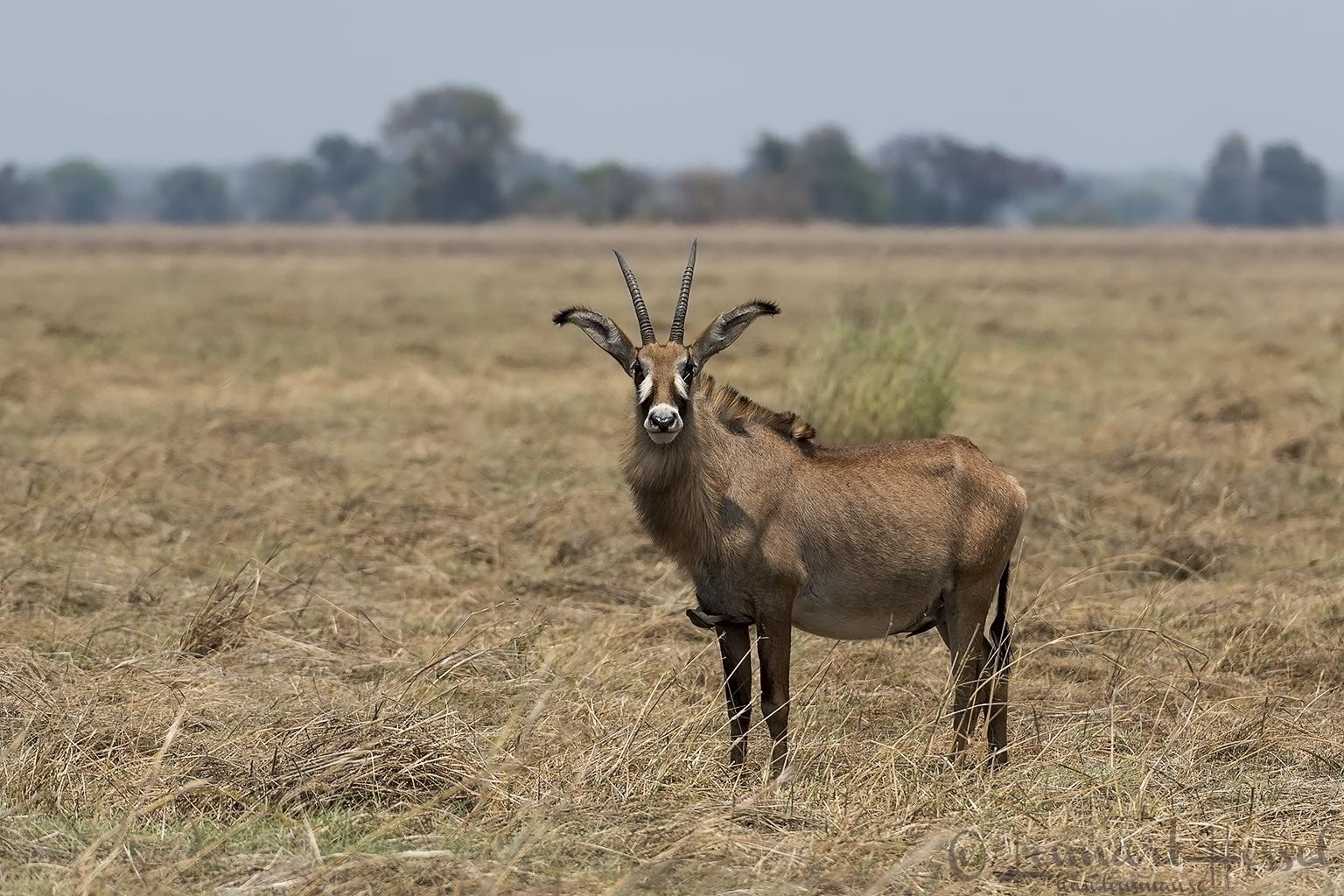 Roan Kafue National Park