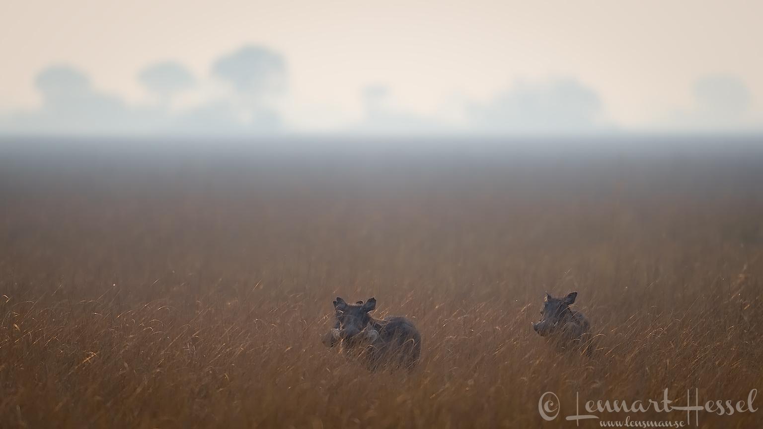 Warthog family Kafue National Park