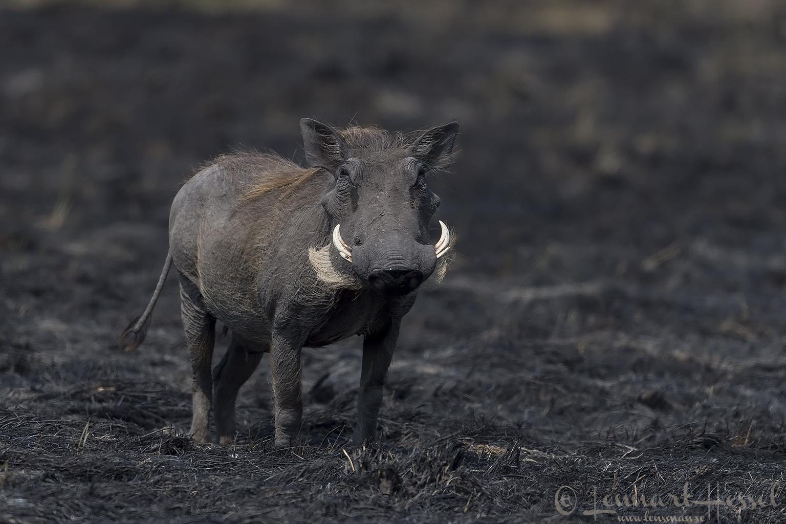 Warthog Kafue National Park