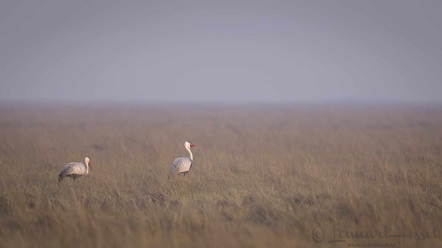 Wattled Cranes Kafue National Park