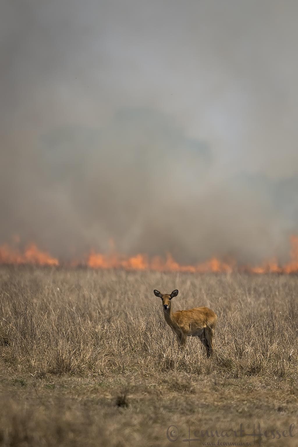 Puku and bush fire Kafue National Park