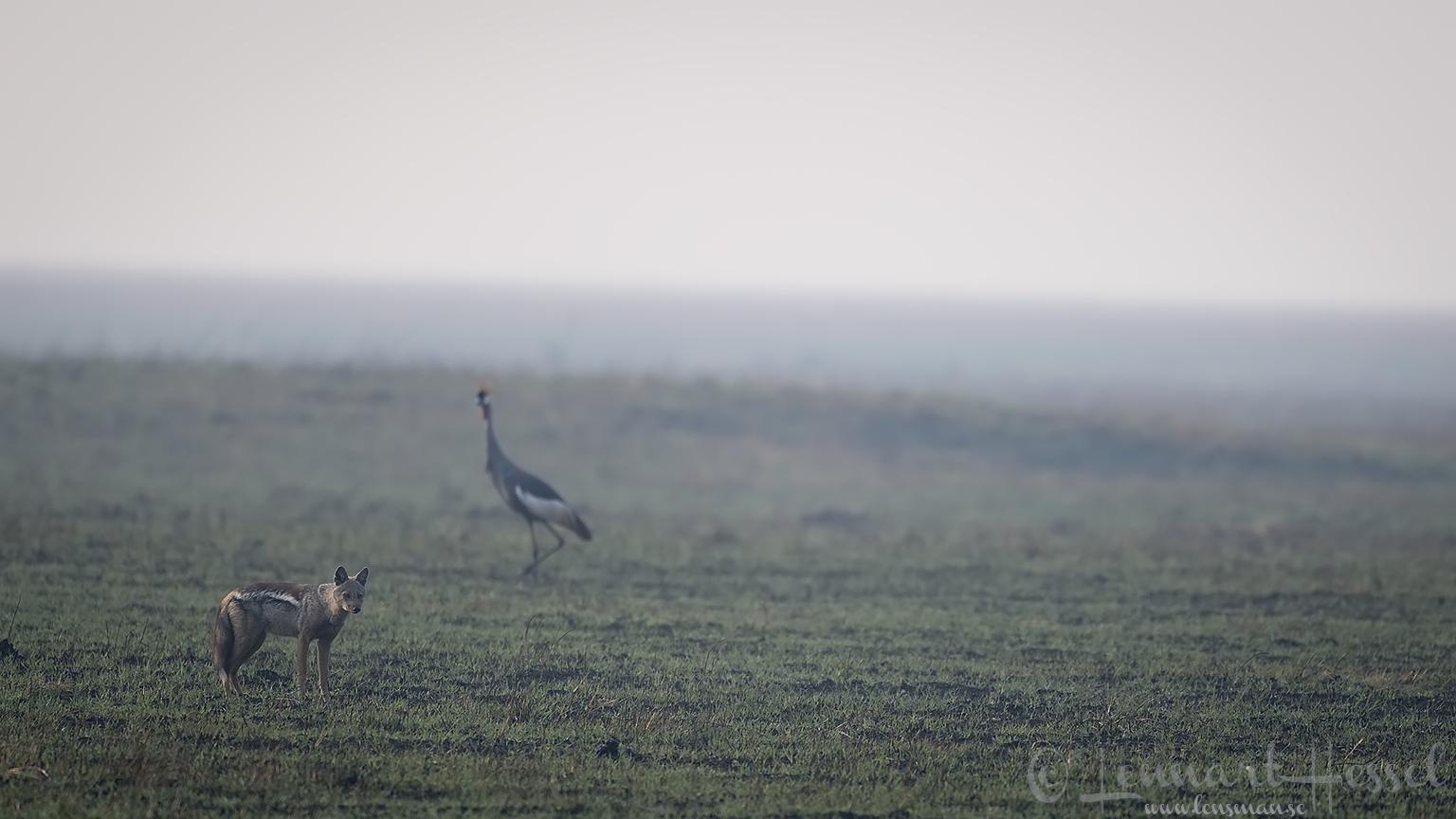 Side-striped Jackal and Grey Crowned Crane Kafue National Park