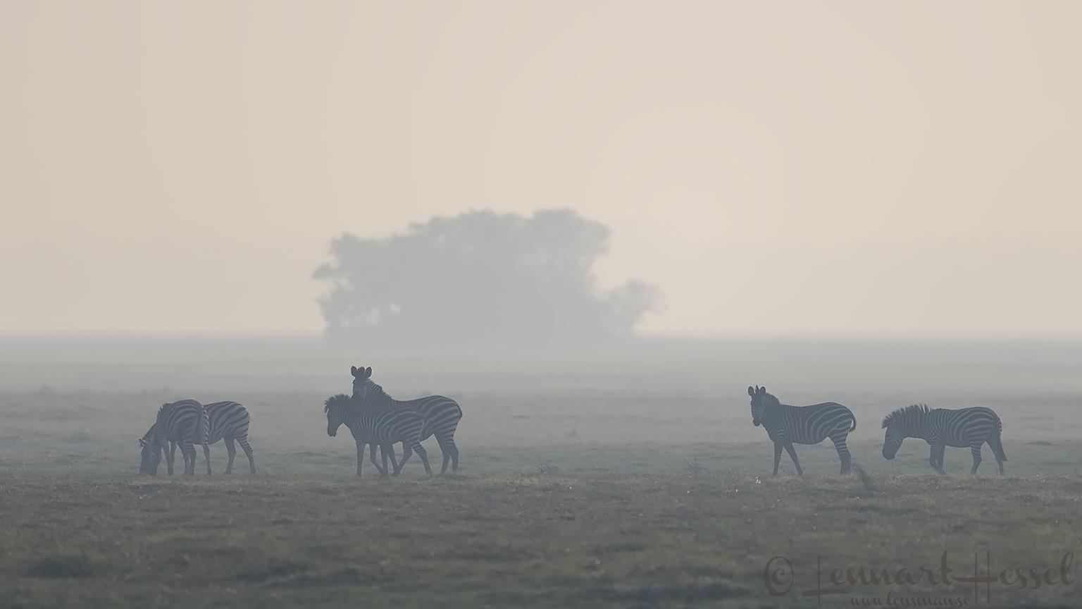 Zebras Kafue National Park