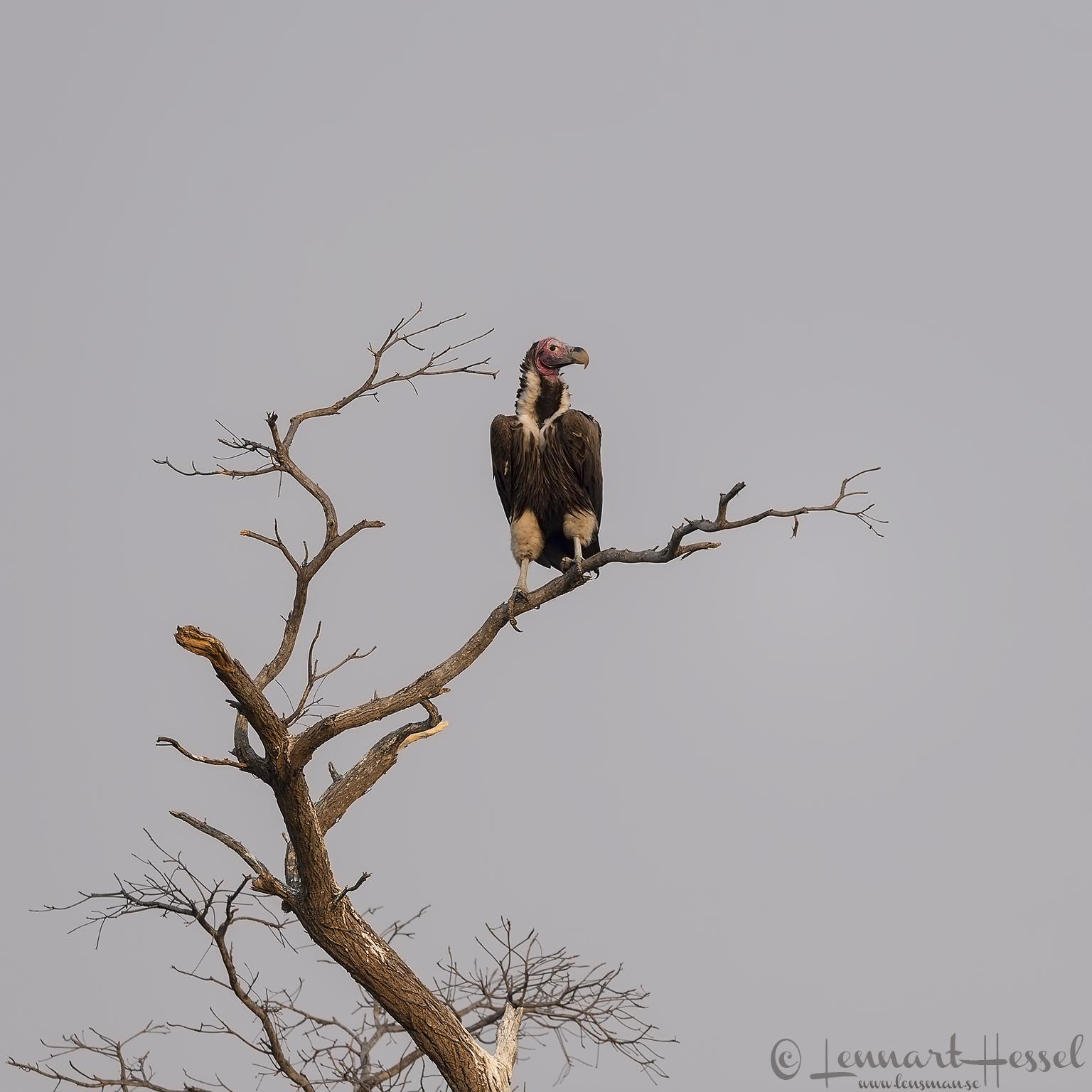 Lappet-faced Vulture Kafue National Park