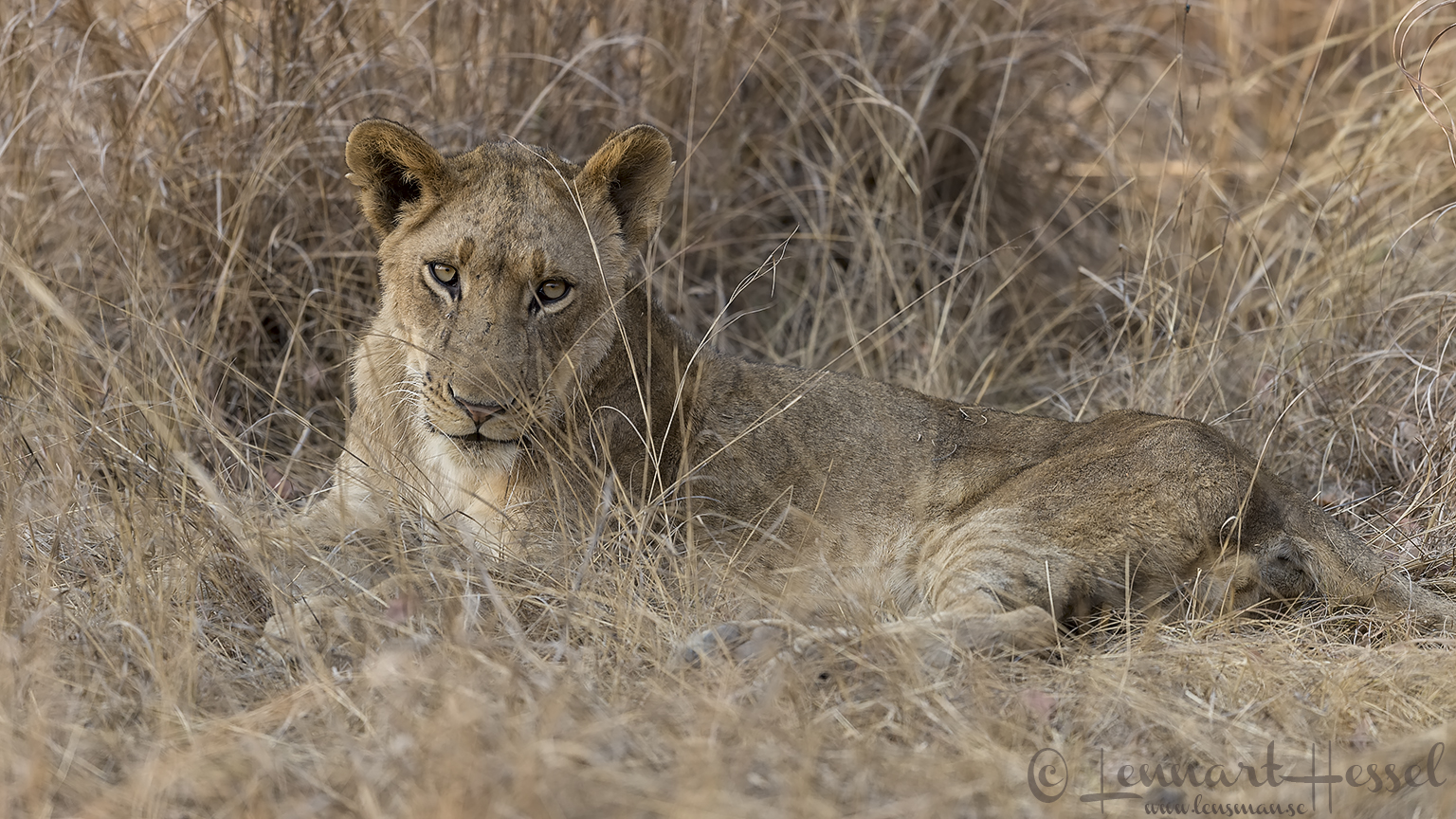 Lion Kafue National Park