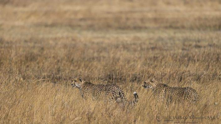 Cheetah brothers Kafue National Park