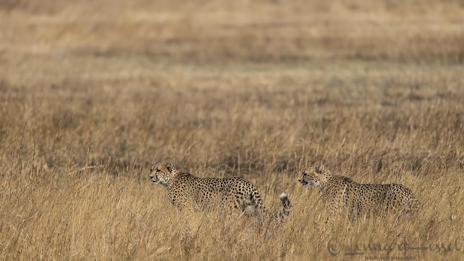 Cheetah brothers Kafue National Park