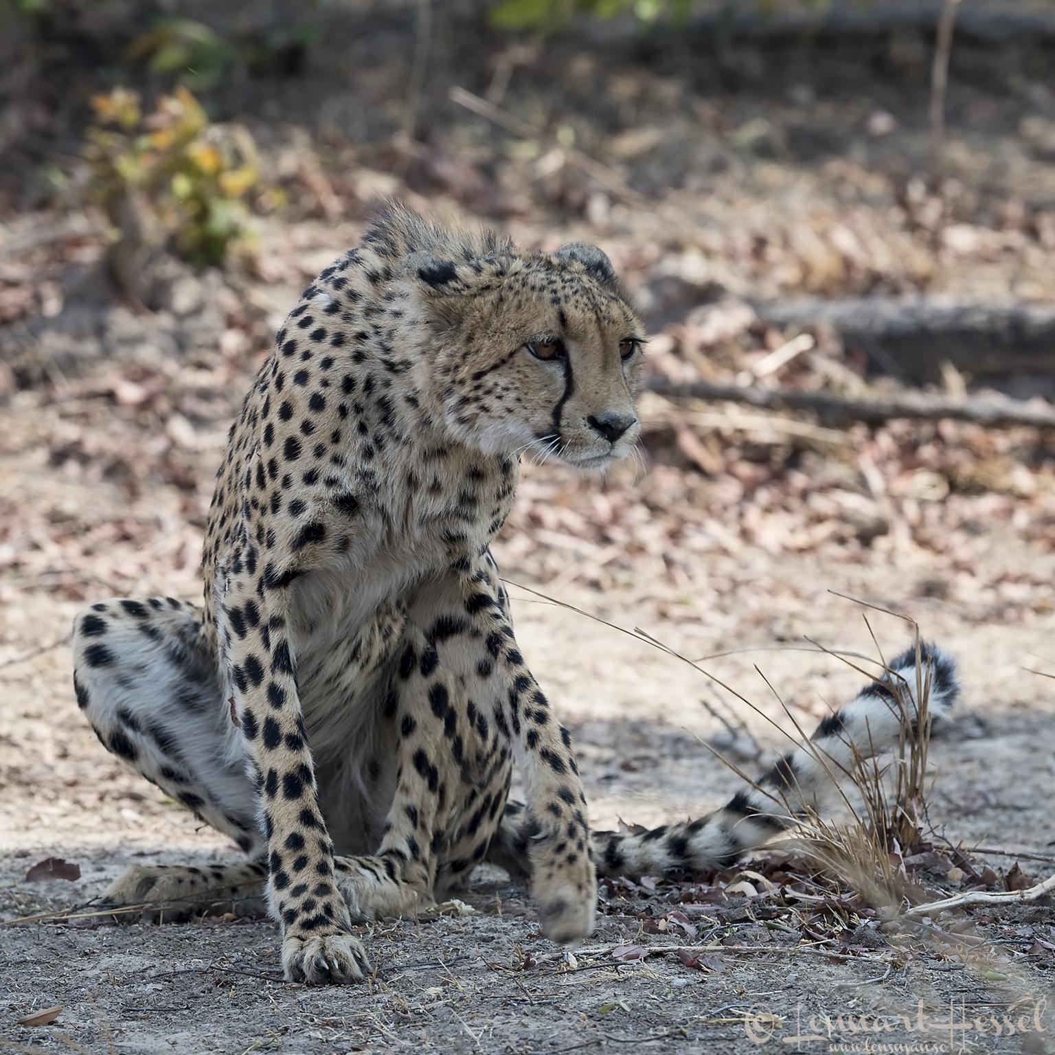 Cheetah Kafue National Park