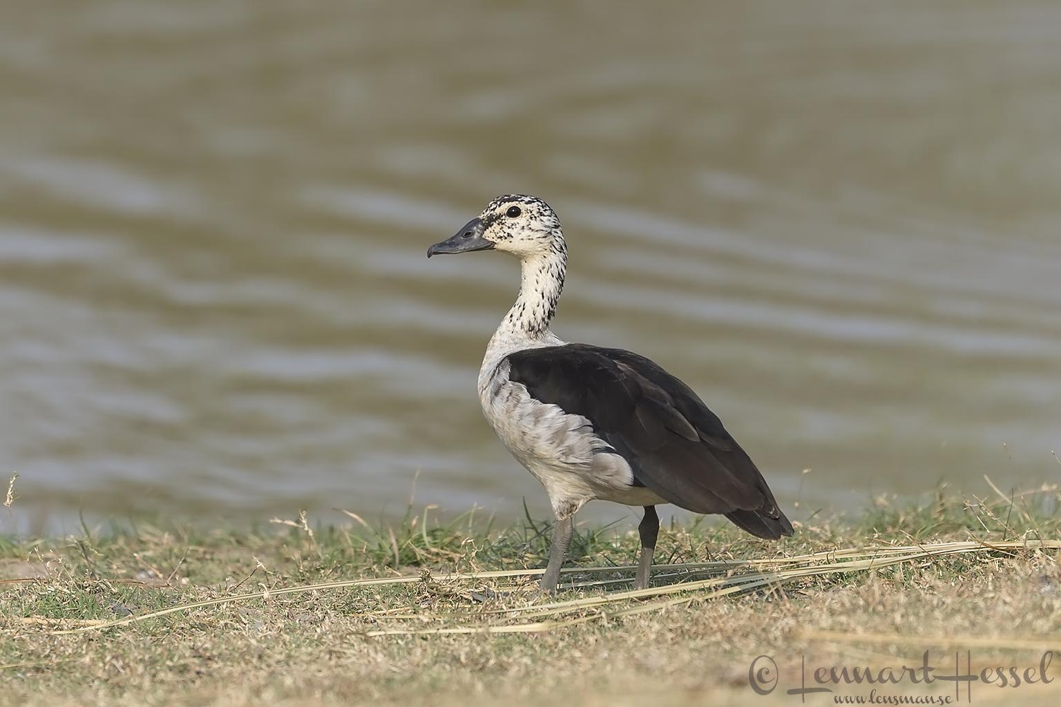 Knob-billed Duck Kafue National Park