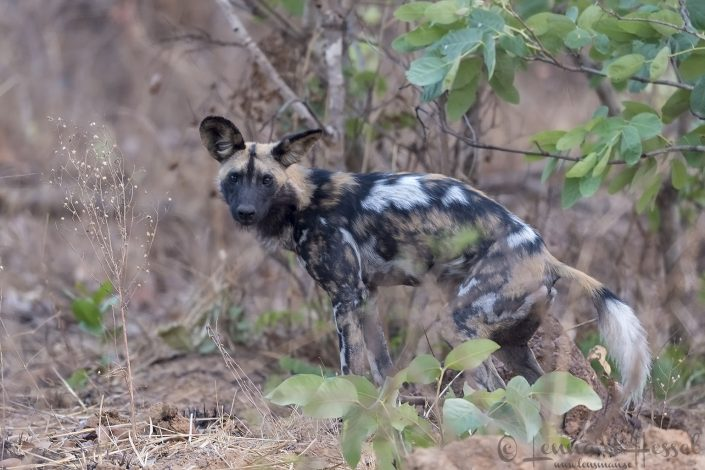 Painted Dog Kafue National Park