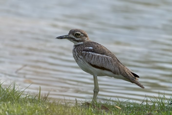 Water Thick-knee Kafue National Park