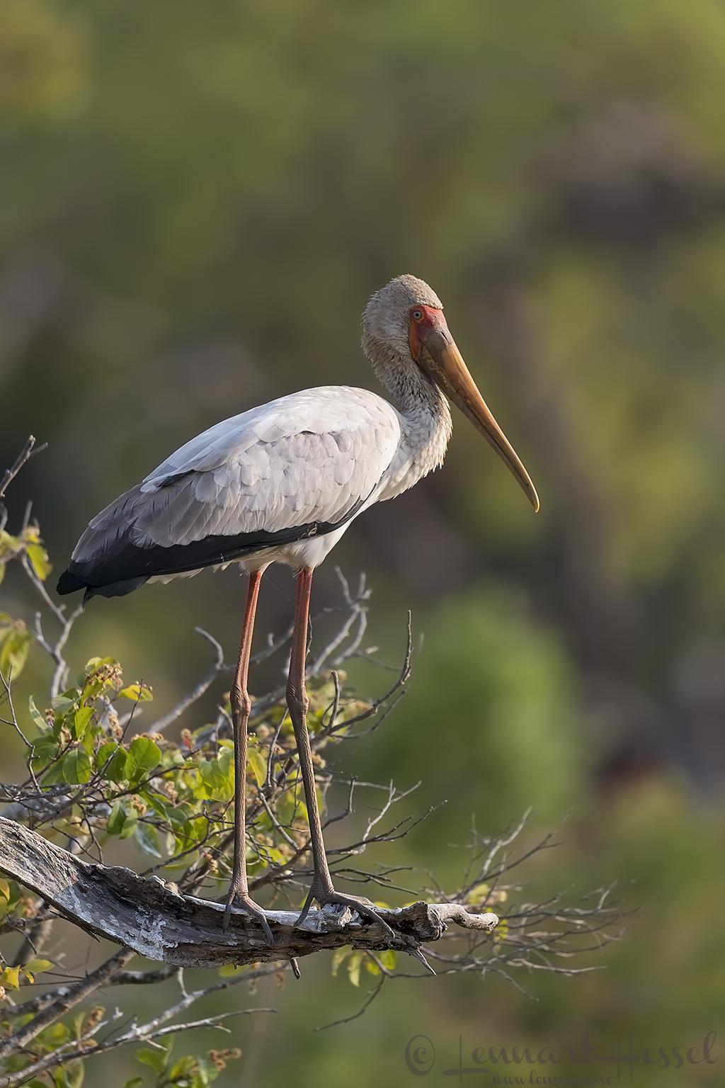 Yellow-billed Stork Kafue National Park