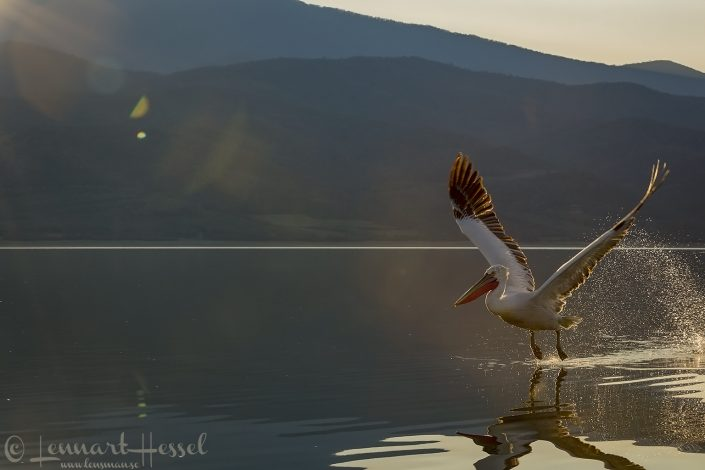 Dalmatian Pelican take off Lake Kerkini