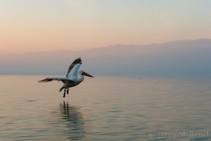 Dalmatian Pelican slow Lake Kerkini