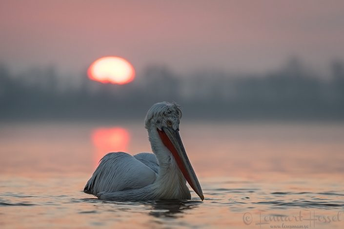 Dalmatian Pelican at sunrise Lake Kerkini