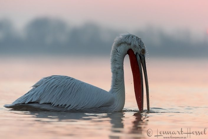 Dalmatian Pelican water drops Lake Kerkini