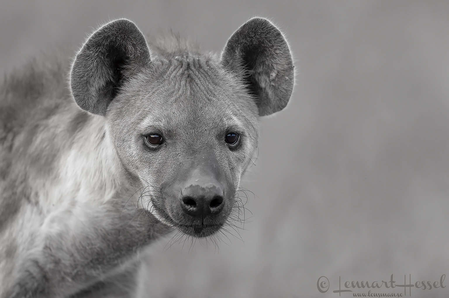 Spotted Hyena black and white