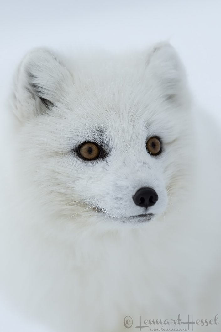 Arctic fox closeup