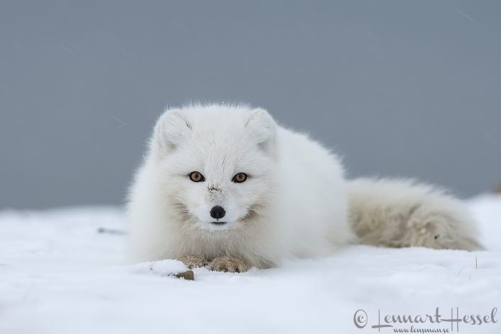 Arctic fox idle