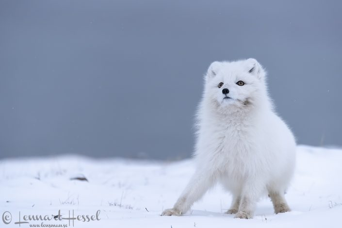 Polar fox looking up Svalbard