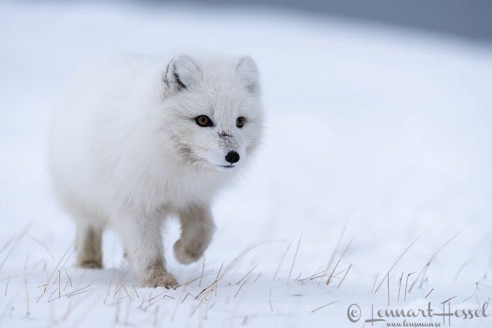 Sneaky Polar fox Svalbard