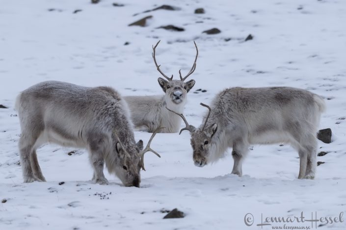 Svalbard Reindeers Arctic