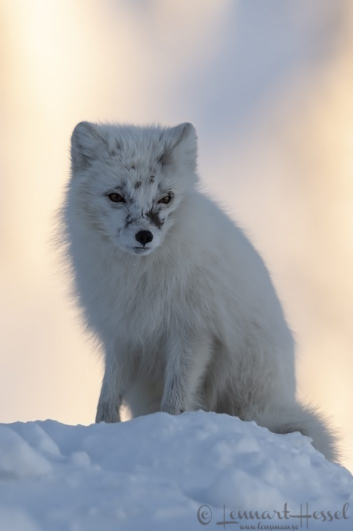 Polar fox looking Svalbard
