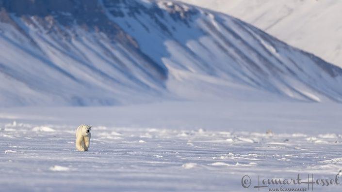 Polar Bear grin Svalbard