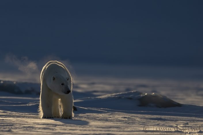 Polar bear breath Svalbard