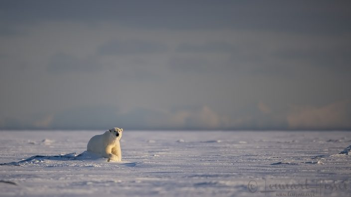 Polar bear relaxed Svalbard
