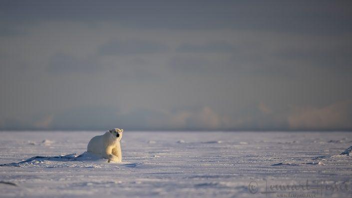Polar bear relaxed Svalbard