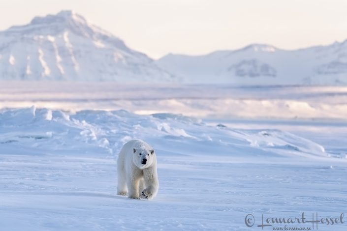 Polar bear in habitat Svalbard
