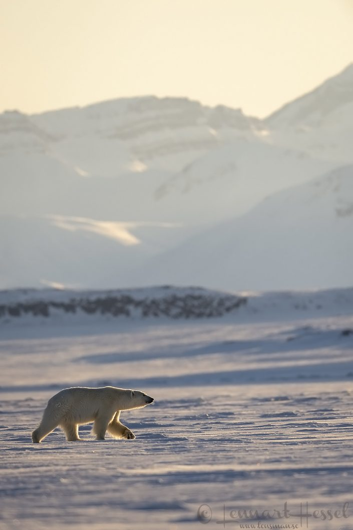 Polar bear walking in Arctic habitat