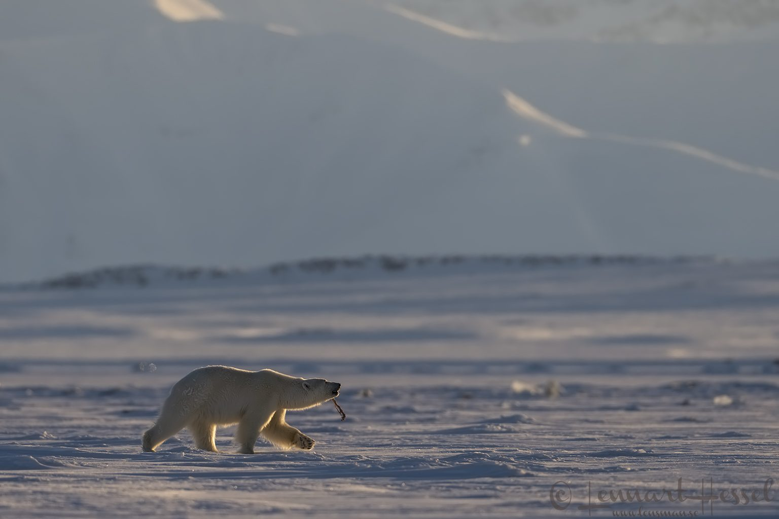 Polar bear with Ringed seal prize Svalbard