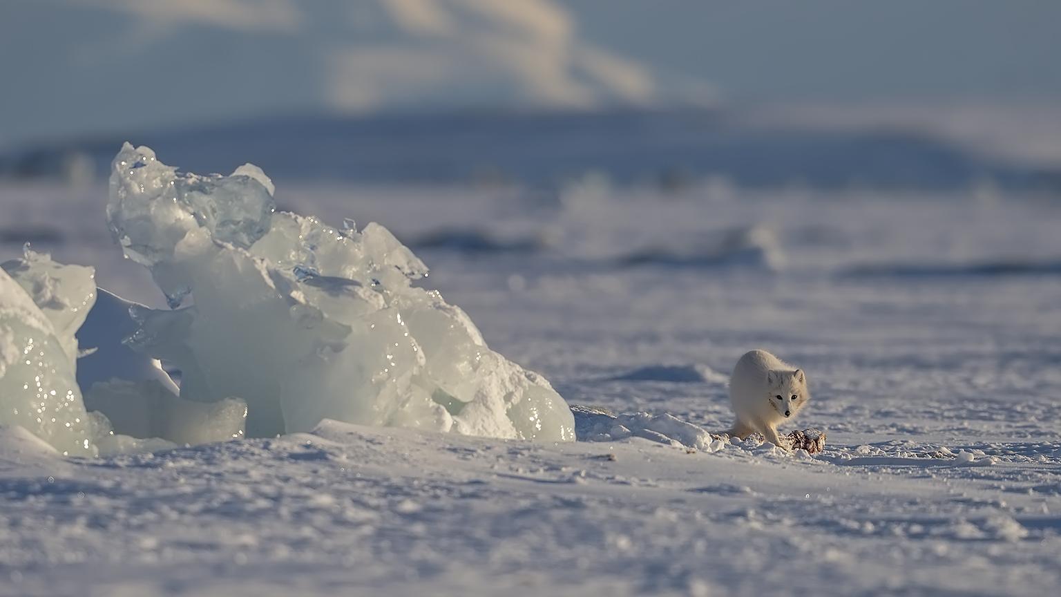 Arctic fox at Ringed seal carcass