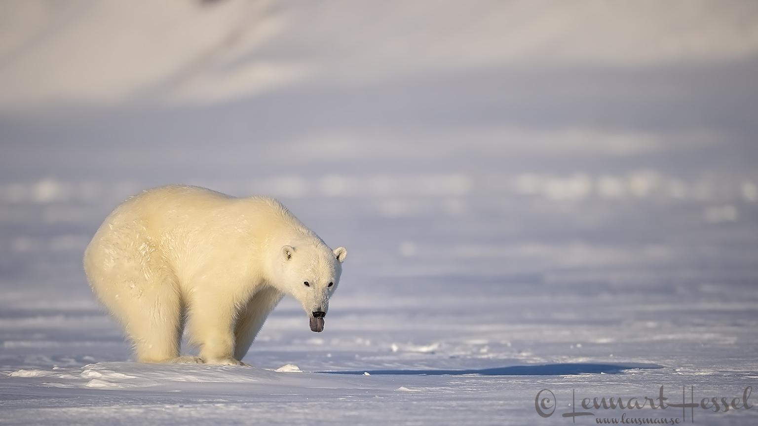 Polar Bear tongue hunting Ringed Seal