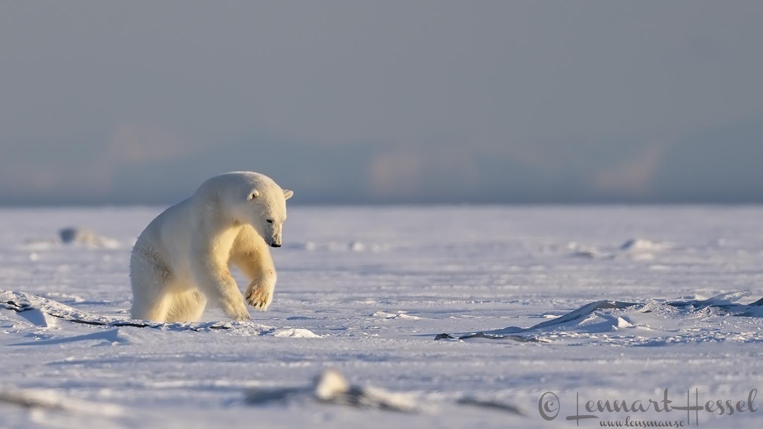 Polar bear attack hunting Ringed Seal