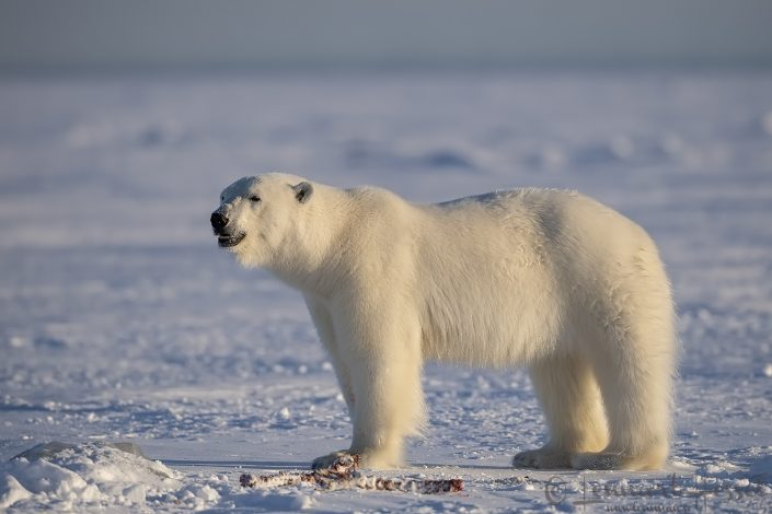 Polar bear grin at Ringed seal carcass