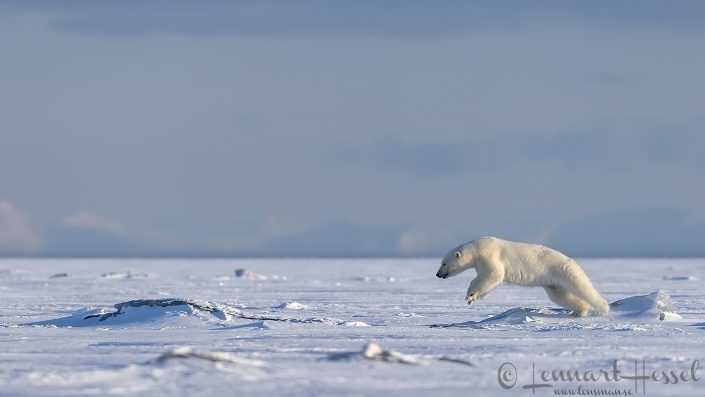 Polar bear jump hunting Ringed seal