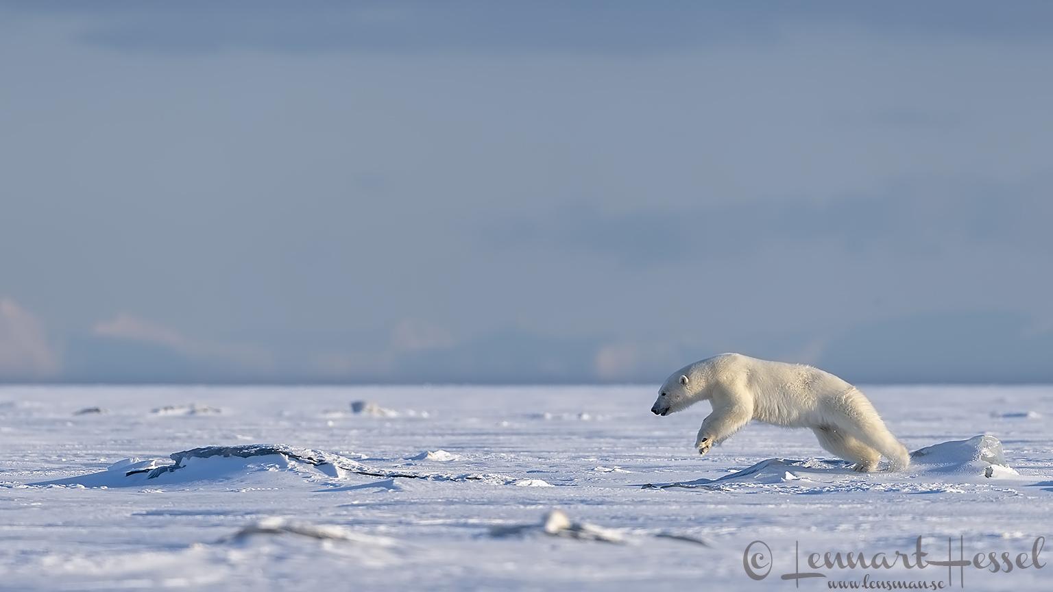 Polar bear jump hunting Ringed seal