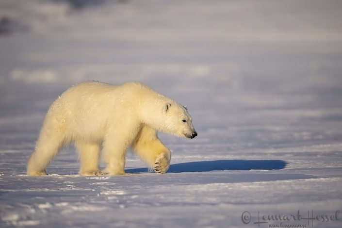 Polar bear paw hunting Ringed Seal