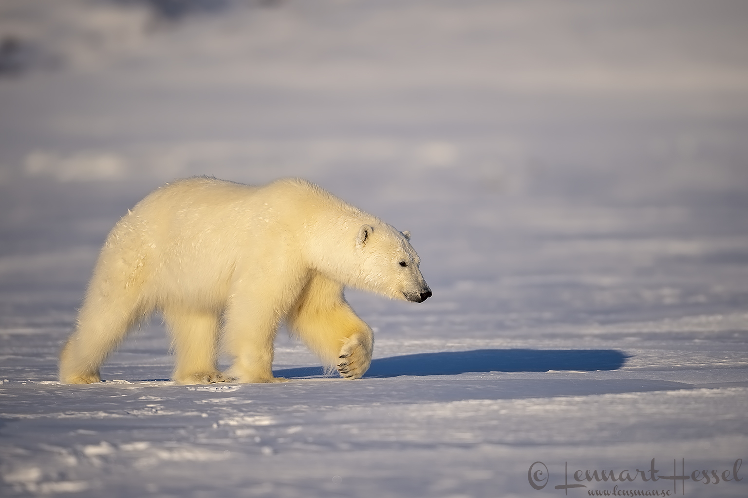 Polar bear paw hunting Ringed Seal