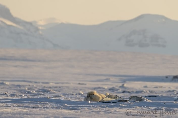 Polar bear playing hunting Ringed Seal