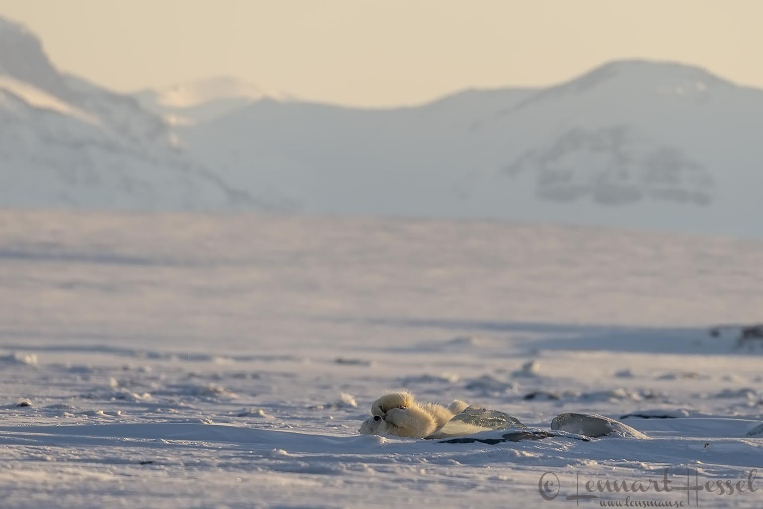 Polar bear playing hunting Ringed Seal