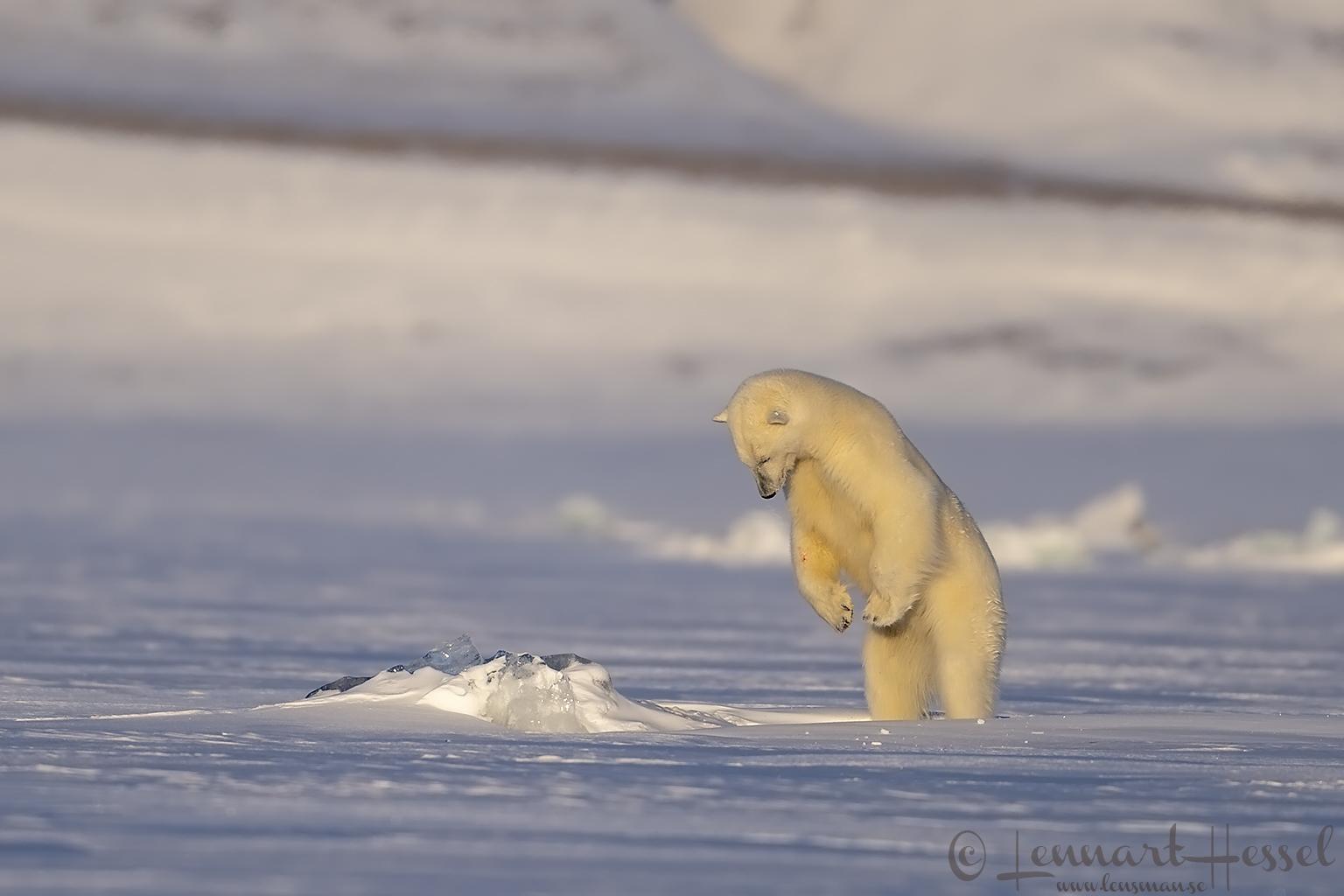 Polar bear pouncing at Ringed seal birth lair