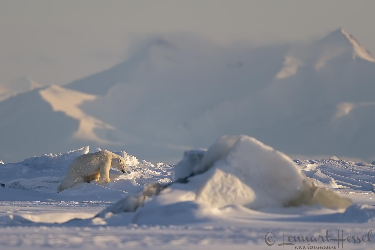 Polar bear searching hunting Ringed seal