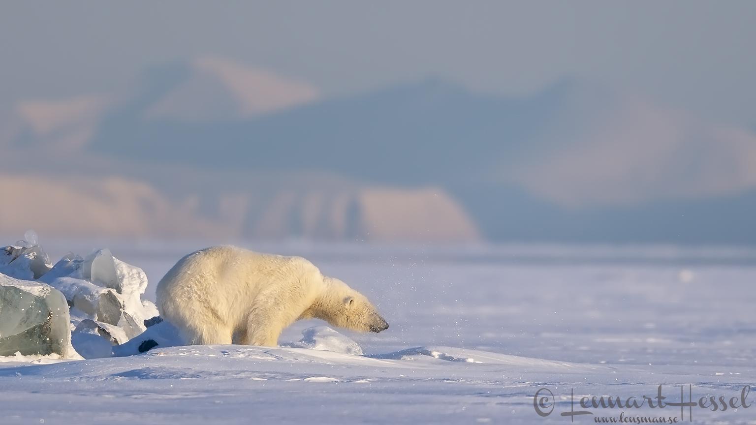 Polar bear shaking water hunting Ringed seal