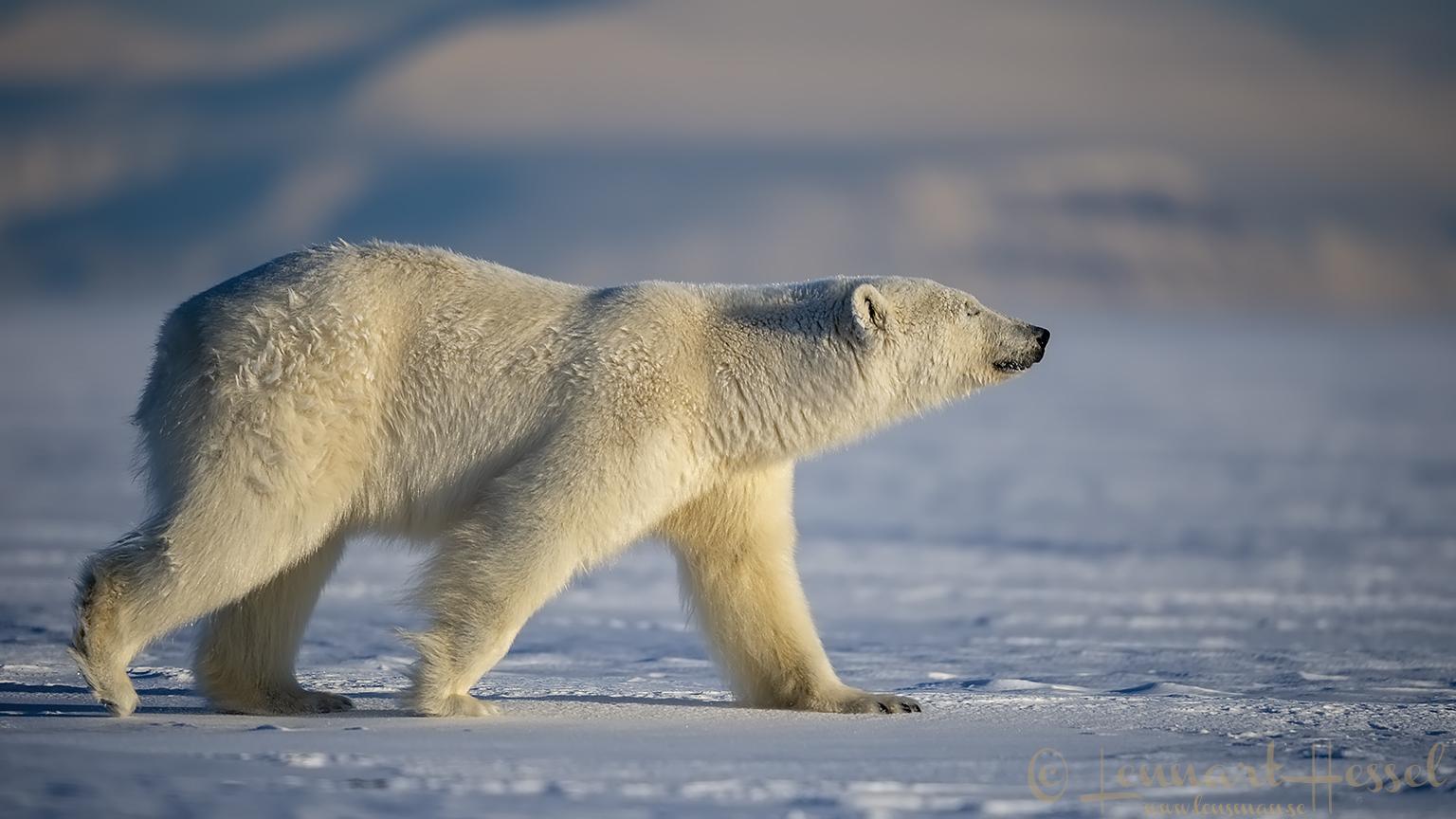 Polar bear walking hunting Ringed Seal