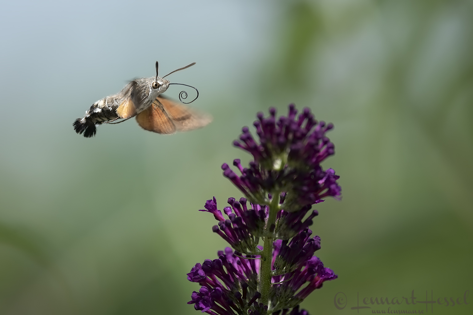 Hummingbird Hawk-moth Hungary Bee-eater Bonanza